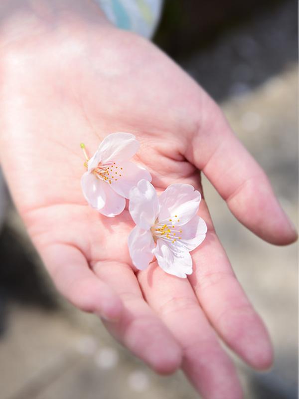 掃部山公園でお花見してきた。