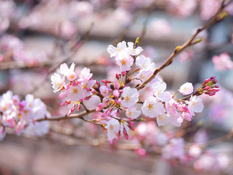 お花見ぶら散歩